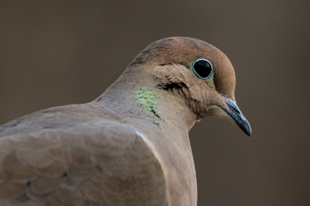 Mourning Dove 122015a copy